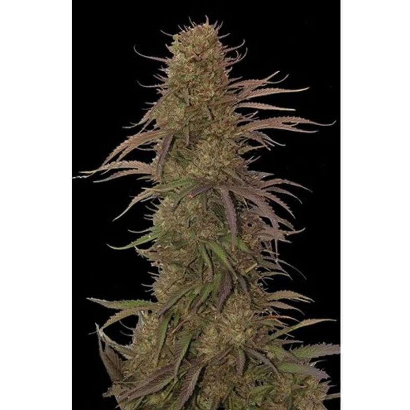 MR. HIDE SEEDS - AUTO CREAM MASS 50 UNIDADES