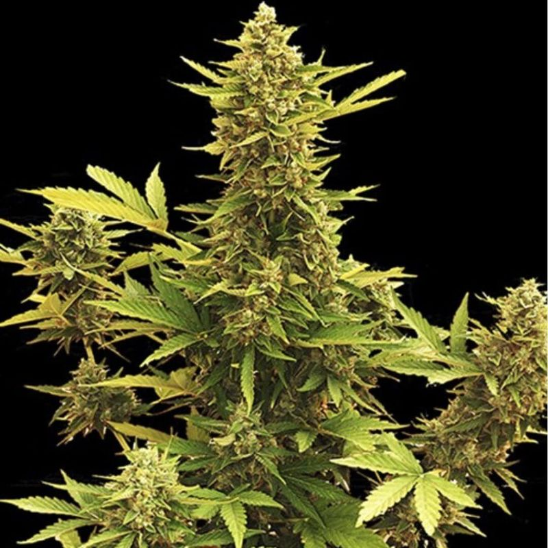 MR. HIDE SEEDS - AUTO AMNESIA 1 UNIDAD